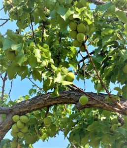 Green apricots on leafy branches