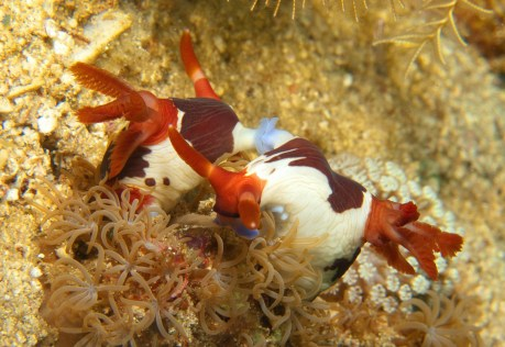 mating pair of red gilled nembrotha exchanging gametes where the blue rings are