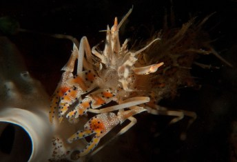 spiny tiger shrimp in Seraya