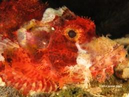 scorpionfish 6489 copyright
