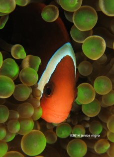 green bubble anemone fish 8080 copyright