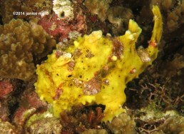 yellow frogfish M 6399 copyright