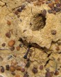 Myrmecia ant, which can sting, as well as bite