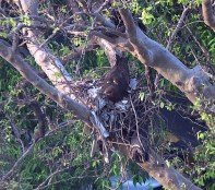 Black Kite on nest