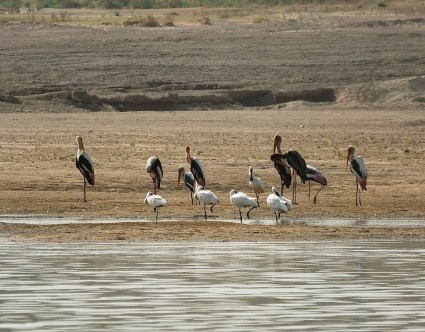 Spoonbills with painted storks