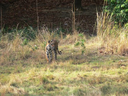 Tiger cub 2 Bandhavgarh