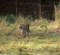Tiger cub 3