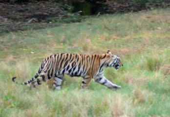 Tiger cub Bandhavgarh