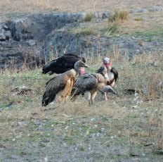 Indian and Red Headed Vultures