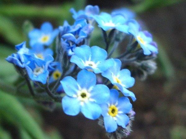 alaska-state-flower-by-akseabird