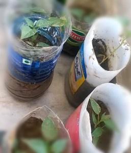 प्लास्टिक के बोतल में पौधे