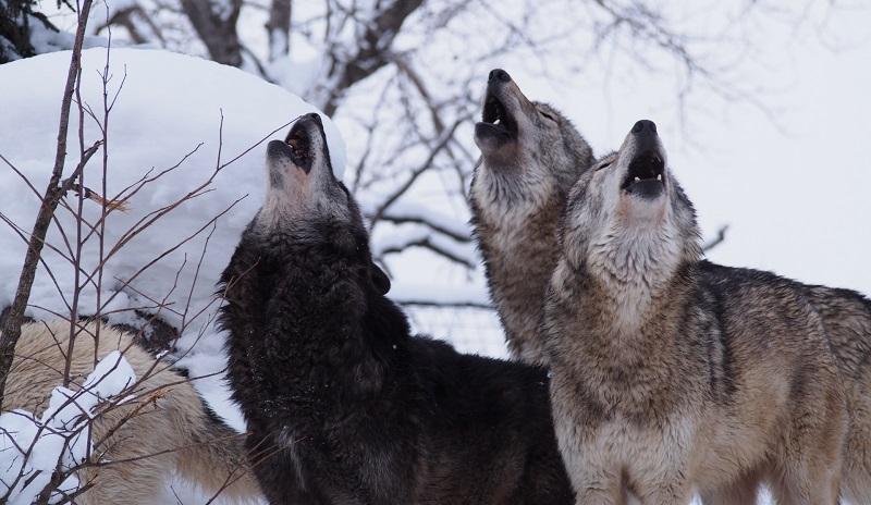 喉を開いて高い声を出す狼