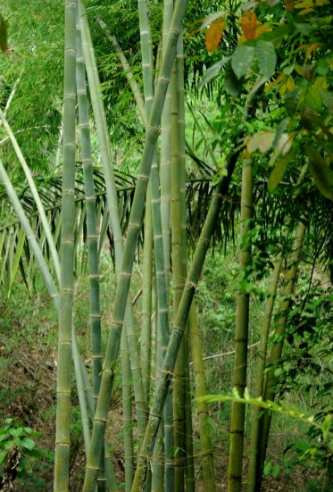 Pierwszy kącik zieleni: las bambusowy.