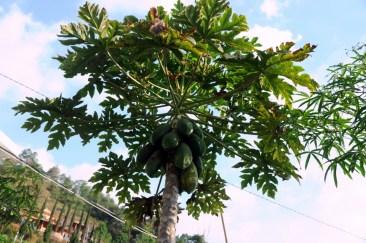 Czwarty kącik zieleni: przydrożna papaja.
