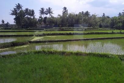 Tradycyjnie za oknem: pola ryżowe.