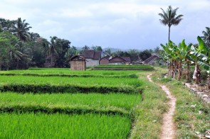 Poszliśmy połazić po okolicy. Dookoła pola ryżowe.