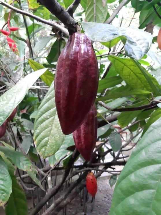 i zaprezentować kakaowce.