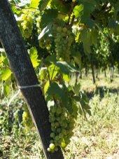 Rosną tu sobie winogronka, które po ususzeniu na krzaku oddadzą, co mają najlepszego do win aszu i samorodni. Specyfika tokajska.