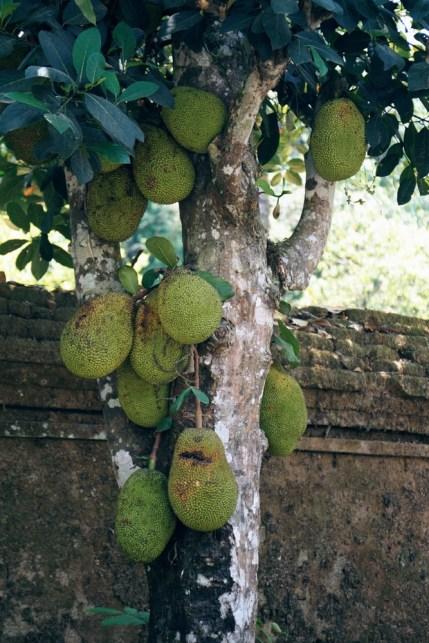 Jackfruit, czyli chlebowiec.