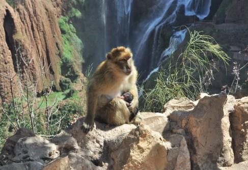 W górnej części wodospadu królują makaki berberyjskie.