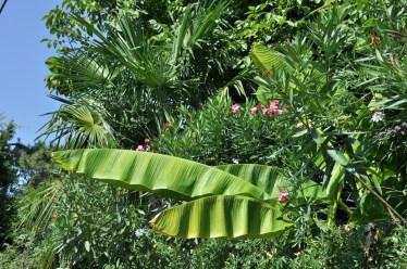 W końcu Azja. Liście bananowca w towarzystwie kwiatu hibiskusa.