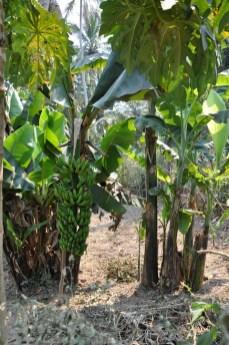 Bananowiec.