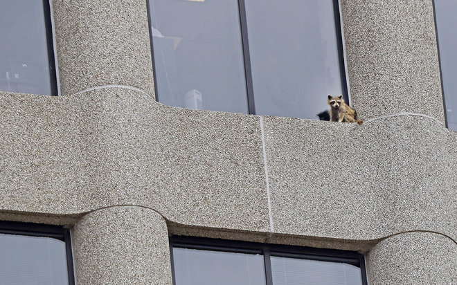Incredible Nature: How a Daredevil Raccoon Pulled Off a Terrifying 23-Story Climb!