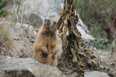Probably a yellow-bellied Marmot