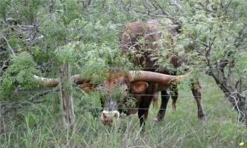 Texas Longhorn peek-a-boo