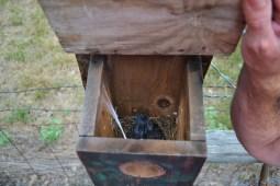 new birds-blue birds (2)