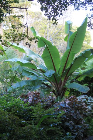 Abyssinian Banana (Ensete ventricosum) - this tropical plant from the banana family copes well with the cooler climate in Sydney. Beware, it will grow large!