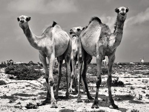Camels in Somaliland © Jan Oberg 2014