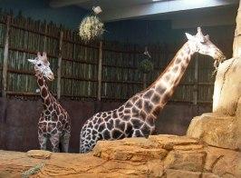 giraffes-zoo chicago