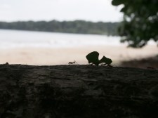 Cahuita National Park - army ants