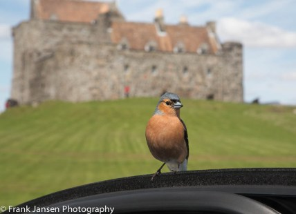 Robin by Duart Castle