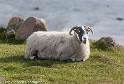 Sheep on Mull