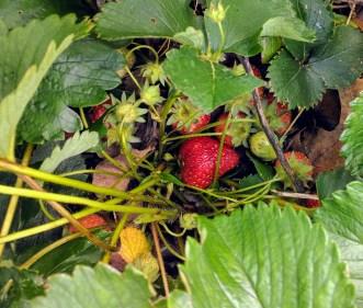 MyStrawberries