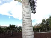 one of the many trees in Tenerife