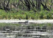 Potato Creek unidentified wader