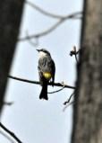 Potato Creek Yellow-rumped Warbler (Myrtle)