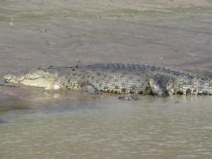 krokodil-northern-territory