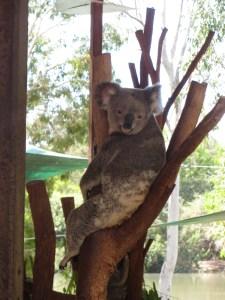 wildlife-koala
