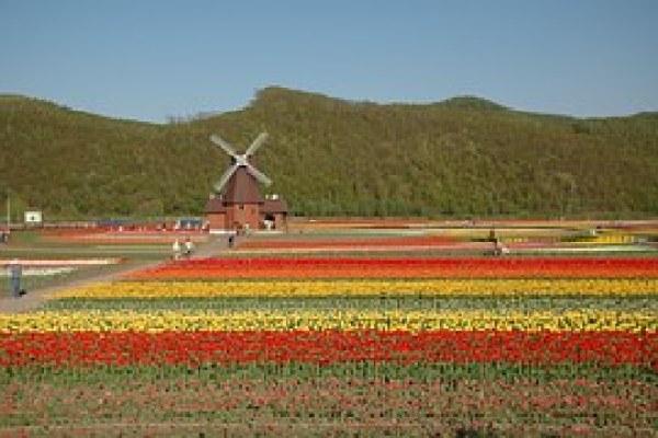tulip-678155__180
