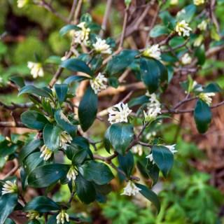 コショウノキ(胡椒の木、学名:Daphne kiusiana)