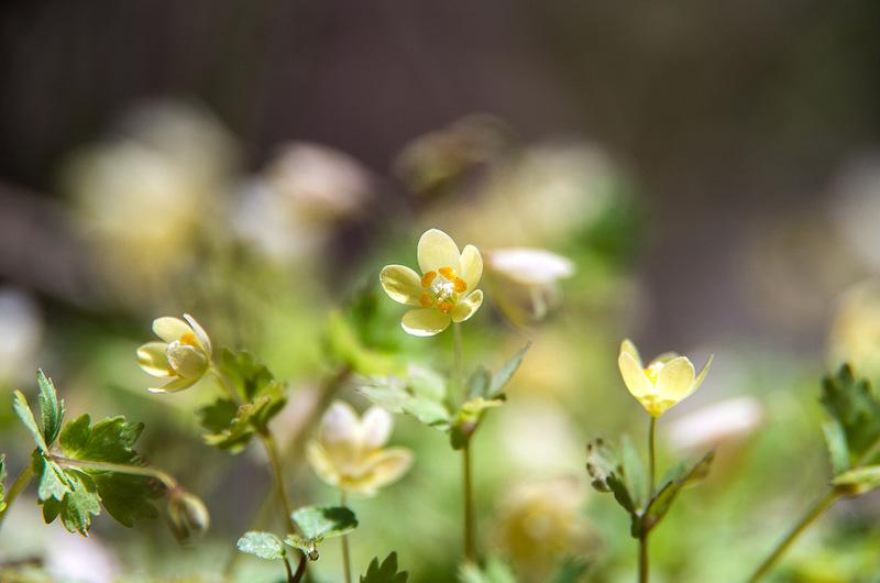 トウゴクサバノオ(東国鯖の尾、学名:Dichocarpum trachyspermum)