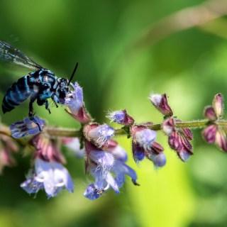 アキノタムラソウ(秋の田村草、学名:Salvia japonica)と幸せを呼ぶ青い蜂 ブルー・ビー