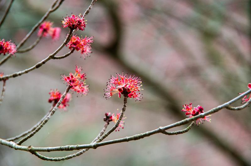 ハナノキ(花の木、学名 Acer pycnanthum)
