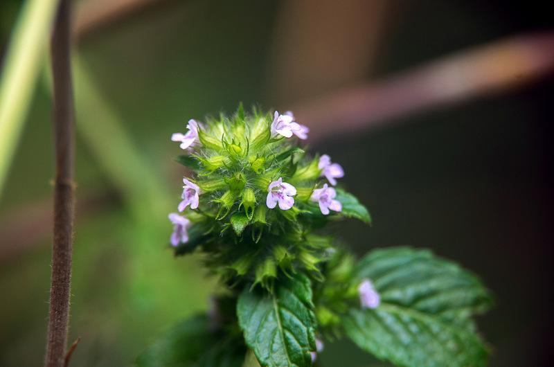 イヌトウバナ(犬塔花、学名は:Clinopodium micranthum)