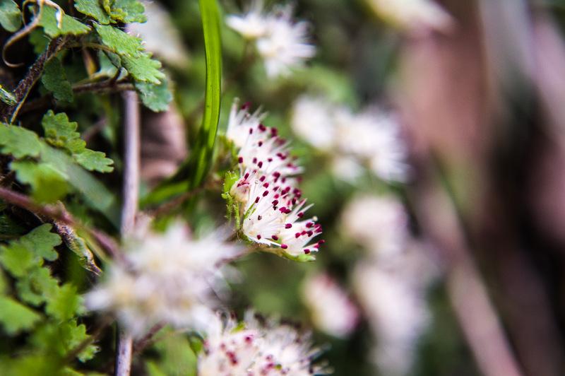 シロバナネコノメソウ(白花猫の目草)