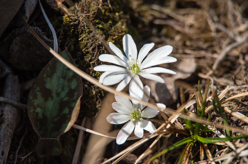 キクザキイチゲ(菊咲一華、学名:Anemone pseudoaltaica)